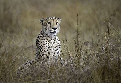guépard © Wilderness - Dana Allen